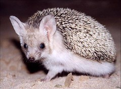 animal, domesticated hedgehog, erinaceidae, fauna, whiskers,