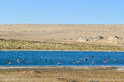 Flamingoes of the desert, Lüderitz, Namibia