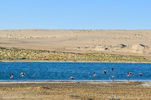 Les flamands roses du désert, Lüderitz, Namibie