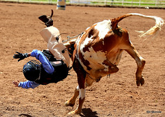 animal sports, rodeo, cattle-like mammal, bull, event, tradition, sports, cattle,