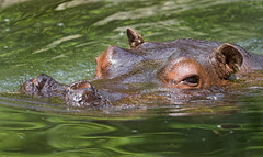 Male hippo on the surface