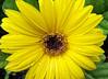 Yellow Gerber Daily