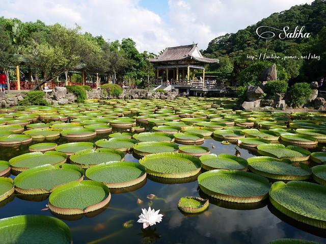 雙溪公園大王蓮 (9)