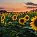 Sunflower Sunset_Mohib Ahmad_McKee-Beshers WMA
