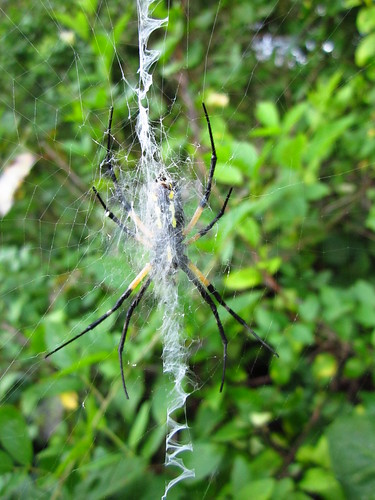 Black-and-Yellow Argiope #2