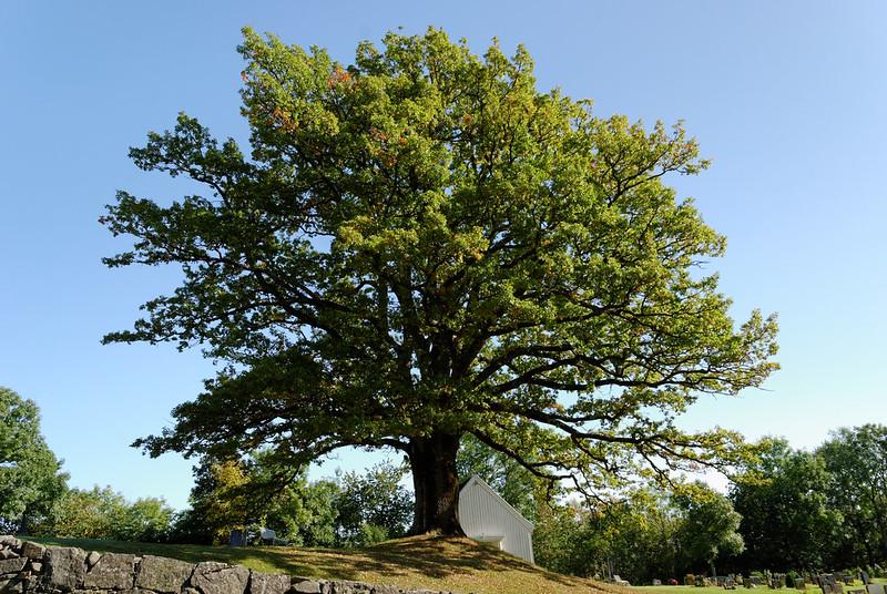 Hof kirke ancient Oak