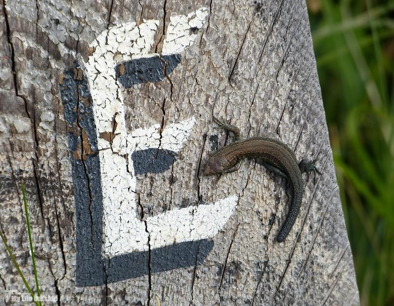 P1080961 - Lizard, Kenfig NNR