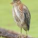 Broken-billed Green Heron with Tongue