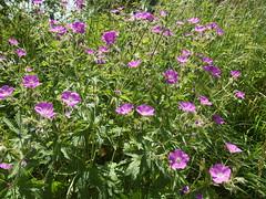 garden cosmos(0.0), annual plant(1.0), geranium cinereum(1.0), flower(1.0), wildflower(1.0), flora(1.0), meadow(1.0),