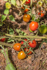potato and tomato genus, tomato, plant, flora, fruit,
