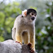 London ZSL: Black-capped squirrel monkeys