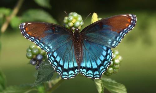 blue orange butterfly northcarolina lantana mimic richmondcounty limenitisarthemis redspottedpurple thinfilminterference pipevineswallowtailmimic