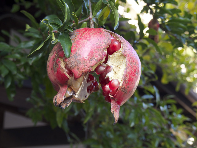 Photo:Pomegranate | ザックリ割れたザクロ By over_frost