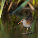 Water Rail by Images from the Wild