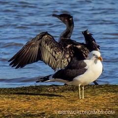 Cormoran warming up   #birding #demond #naturereserve #southafricaza #mostbeautifulplaceintheworld #beautifulplace #beautifulplacesintheworld #southafrica #westerncape