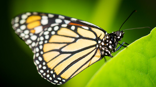 macro closeup butterfly insect wing pavilion antennae 2014 floyka