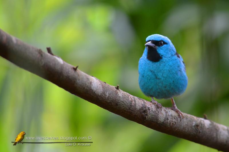 Saí azul (Blue Dacnis) Dacnis cayana