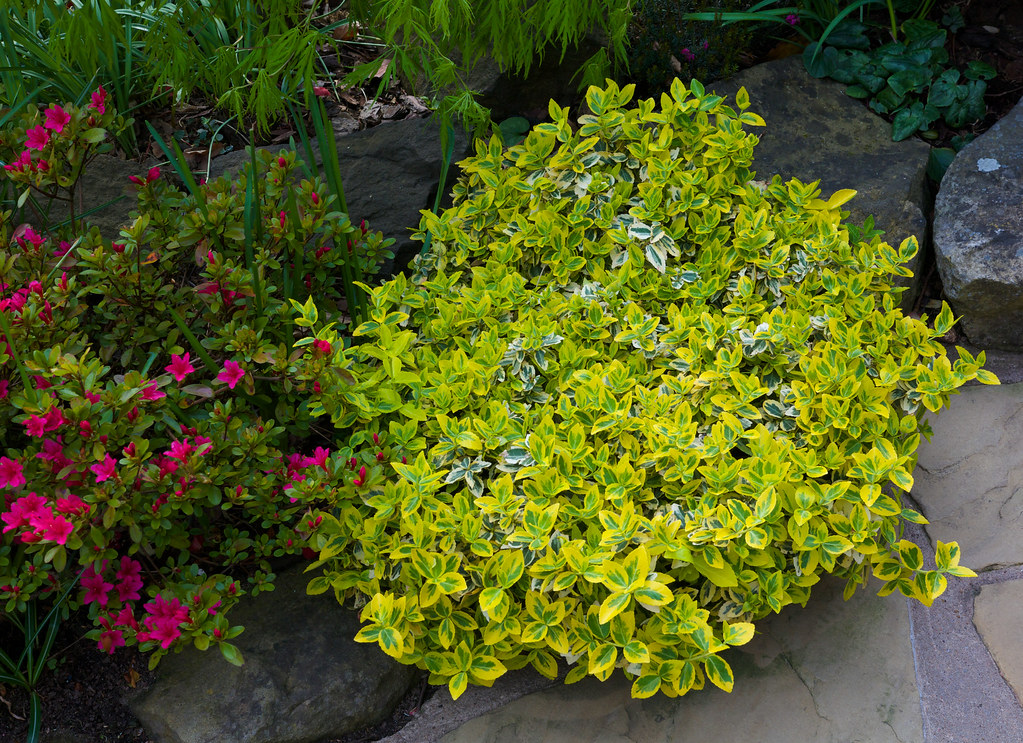 Picture of Live Winter Creeper Euonymus aka Euonymus for. 'Emerald & Gold' Plant Fit 5 Gallon Pot