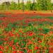 Red poppies at Sangdong Lake Park