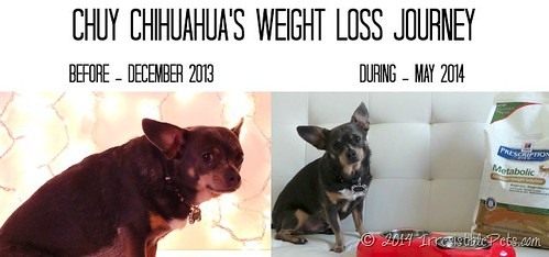 Chuy-Chihuahuas-Weight-Loss-Journey-Before-and-During-Pics_thumb