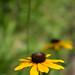 Yellow (179/365)