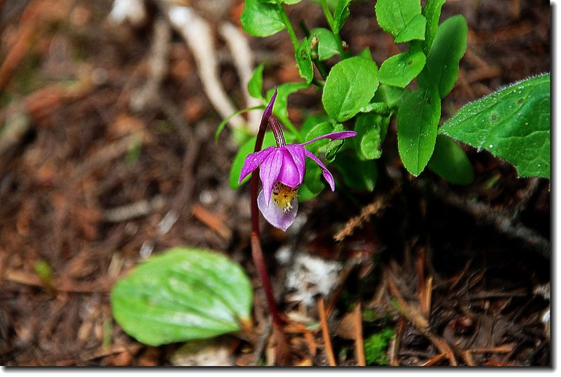 Calypso Orchid(Fairy Slipper) 3