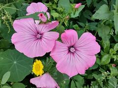 geranium cinereum(0.0), ipomoea violacea(0.0), malva(0.0), pink evening primrose(0.0), annual plant(1.0), flower(1.0), pinkladies(1.0), plant(1.0), flora(1.0), chinese hibiscus(1.0), petal(1.0),