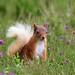 Red squirrel in the heather - Scottish Highlands