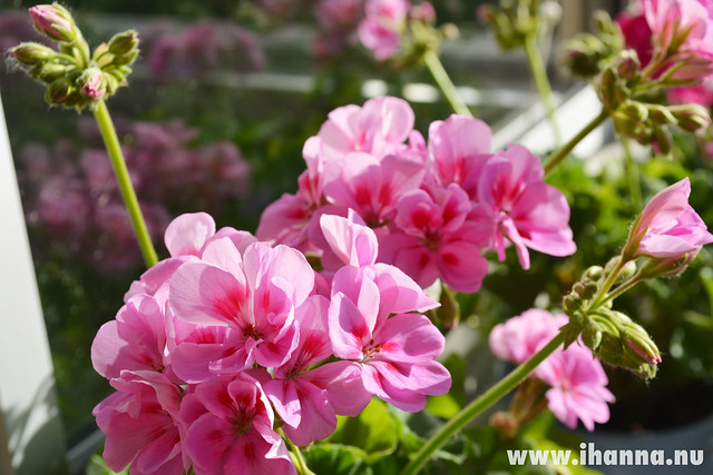 Geranium in pink #pinkflowermission photos by iHanna