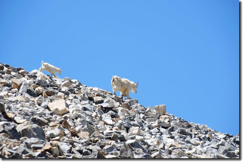 Mountain Goats 2