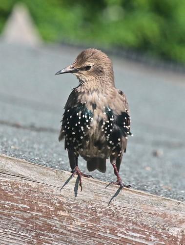 Juvenile Starling IMG_1584