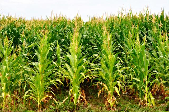 42N Observations: Iowa's Beautiful Corn