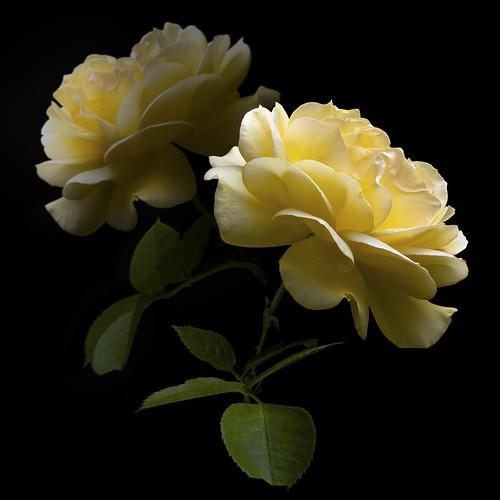 Rose Y Duo