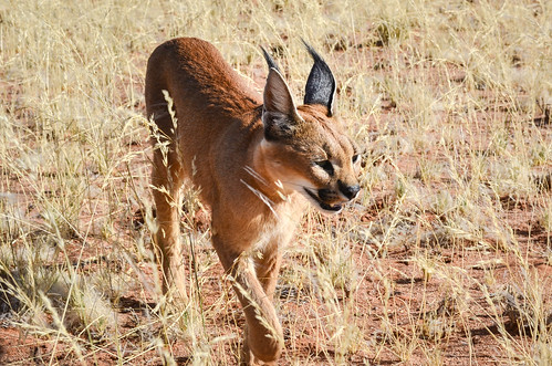 Caracal in southern Namibia