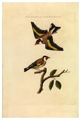 011-Jilguero- Nederlandsche vogelen- Nationale bibliotheek van Nederland