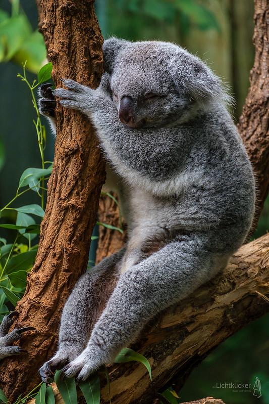 Koala #2 - Reloaded