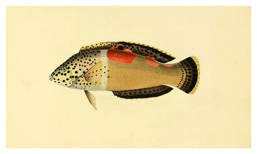 012- Lubrus Aureo-Maculatus-A selection … the fishes …of Ceylon-1834 John B. Whitchurch