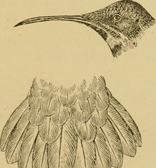 """Image from page 490 of """"The birds of British Guiana : based on the collection of Frederick Vavasour McConnell ..."""" (1916)"""