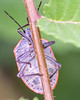 Conchuela Stink Bug Hangin' Out