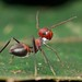 Red Calomyrmex ant-mimicking jumping spider by pbertner