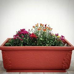 Mi abuela esta muy enferma y los doctores dicen que le queda poco tiempo... pero cada una de estas flores que plante hoy serán un recuerdo de sus sonrisas, consejos y amorosos regaños!