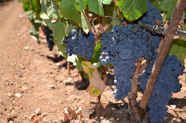 Vines, Bodegas CHP