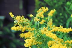 blossom(0.0), shrub(0.0), mustard(0.0), rue(0.0), produce(0.0), food(0.0), pollen(1.0), flower(1.0), yellow(1.0), macro photography(1.0), subshrub(1.0), herb(1.0), wildflower(1.0), flora(1.0),