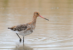stilt(0.0), sandpiper(0.0), animal(1.0), fauna(1.0), shorebird(1.0), beak(1.0), bird(1.0), wildlife(1.0),