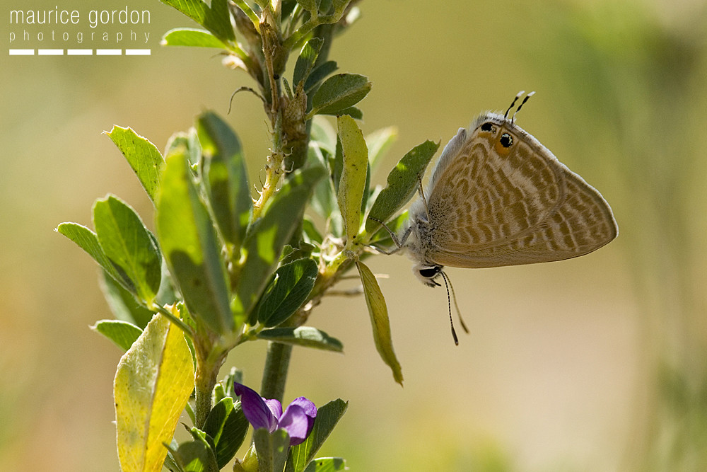 Long-tailed Blue1847