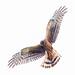 Immature Northern Harrier in flight
