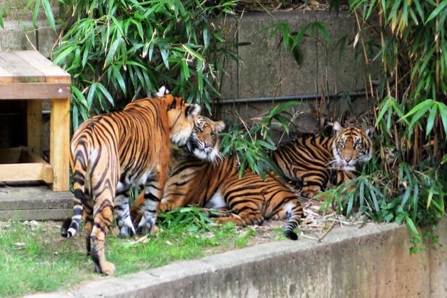 Tiger Secrets