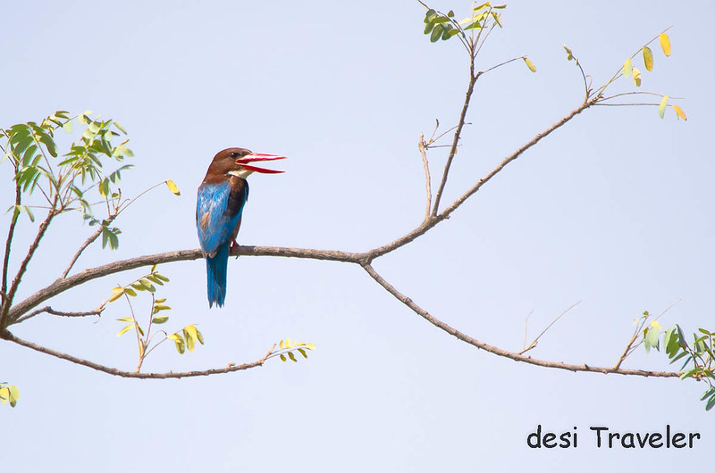White Throated Kingfisher Halcyon smyrnensis Satpura National Park