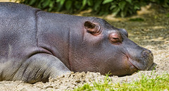 Sleeping young hippo