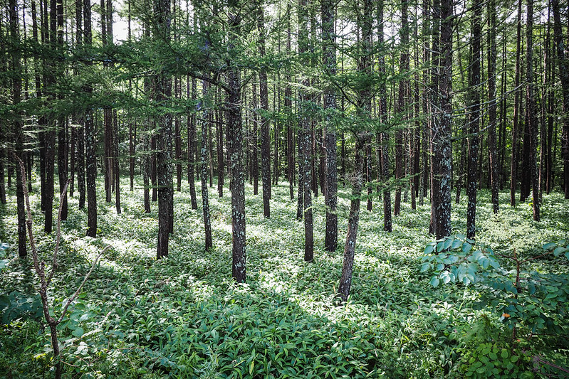 Sleepy forest near Lake Toro, Hokkaido, Japan